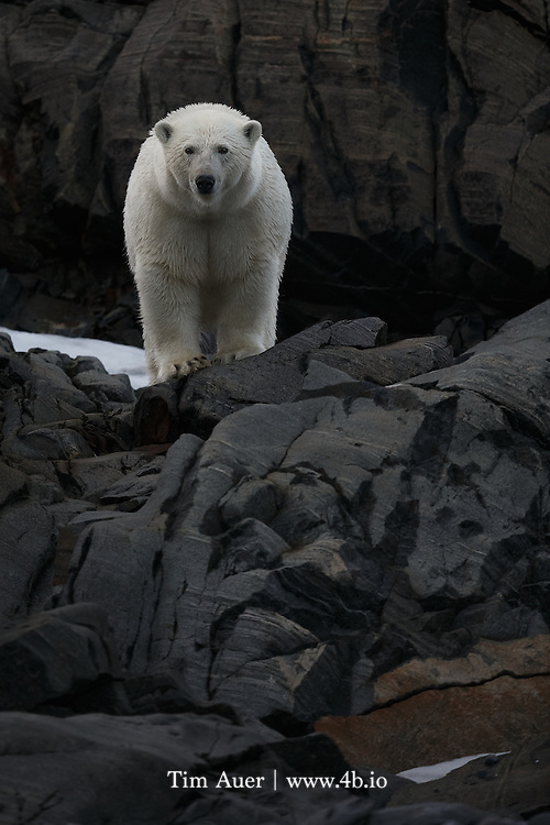 Polar Bear on Charles XII Island Svalbard