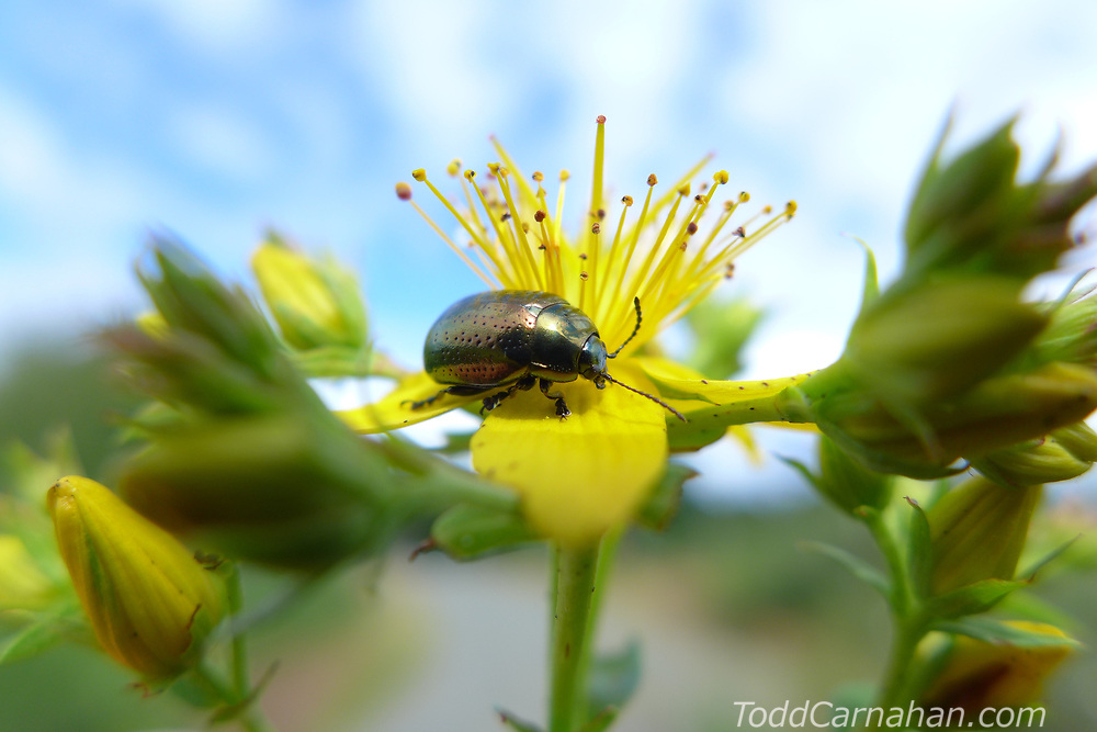 St Johnswort Bettle Hypericum imported biocontrol pest medicine Insects, bugs, and arachnids among other invertebrates in southern BC and Vancouver Island in the Pacific North-West.