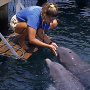 Bottlenose Dolphin (Tursiops iruncatus).  A trainer with dolphins at the Institute of Marine Sciences in Honduras.  Captive Animal.