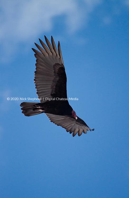Turkey Vulture (Cathartes aura) in Quintana Roo, Mexico.