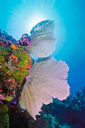 common sea fan, Gorgonia ventalina, or Venus sea fan, Gorgonia flabellum, Key Largo, Florida Keys National Marine Sanctuary, Florida, USA, Caribbean Sea, Atlantic Ocean