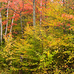 A hardwood forest in fall in Groton, New Hampshire.