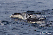 short-beaked common dolphins, Delphinus delphis, <br /> porpoising out of the water off San Diego, California, U.S.A. ( eastern Pacific Ocean )