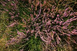 flora, flower
