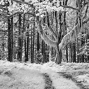 Giant At The End Of The Road - Upper Queets Valley - Olympic National Park - Infrared Black & White