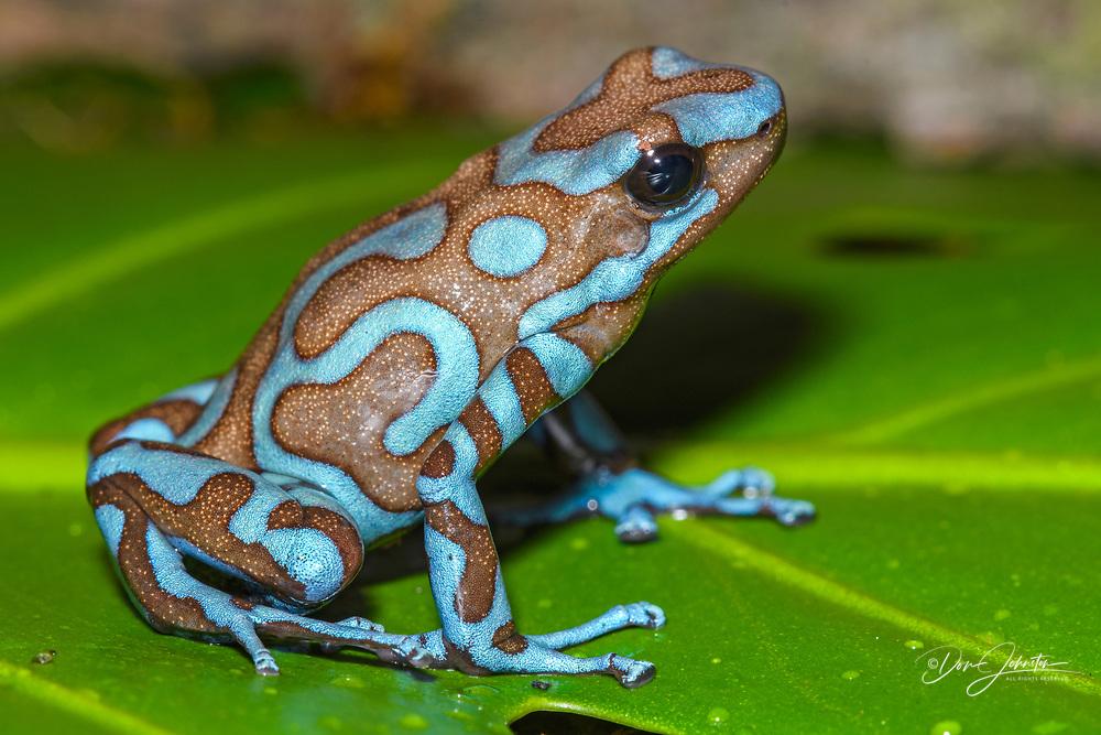 "Dendrobates auratus ""blue and bronze"", Greater Sudbury, Ontario, Native to: Highlands of Panama"