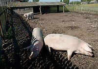 Ilustracja 24092010 woj podlaskie zwierzeta wiejskie n / z swinie  fot Barbara Sojko / AGENCJA WSCHOD