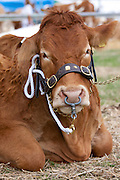 Champion pedigree British Limousin bull at Moreton Show, Moreton-in-the-Marsh, The Cotswolds, Gloucestershire, UK
