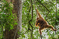 Adult female Walimah with one month old infant.<br /> Traveling through the canopy hanging from lianas.<br /> <br /> Bornean Orangutan <br /> Wurmbii Sub-species<br /> (Pongo pygmaeus wurmbii)<br /> <br /> Gunung Palung Orangutan Project<br /> Cabang Panti Research Station<br /> Gunung Palung National Park<br /> West Kalimantan Province<br /> Island of Borneo<br /> Indonesia