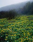 Spring bloom of Marsh Marigold, Caltha palustris, north of Ellicotville, New York.