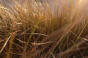 Sand reed waving by the wind during sunset.
