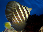 A Sailfin tang fish (Zebrasoma veliferum) showing its huge open fins swimming in an aquarium at the King's Lynn Koi Centre Norfolk