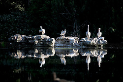 © Licensed to London News Pictures. 25/05/2020. London, UK. Pelicans sit on a rock in St James's Park, Westminster at the start of a warm summers day, on which the public have been warned against breaking COVID-19 lockdown rules. Government has announced a series of measures to slowly ease lockdown, which was introduced to fight the spread of the COVID-19 strain of coronavirus. Photo credit: Ben Cawthra/LNP