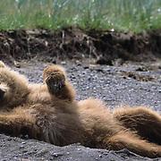 Alaskan Brown Bear, (Ursus middendorffi) Cub lying back. Alaskan Peninsula.