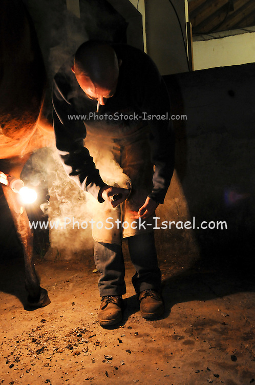 Farrier fitting the heated shoe to a horse's hoof Night Shot. The steam and vapour can be clearly seen