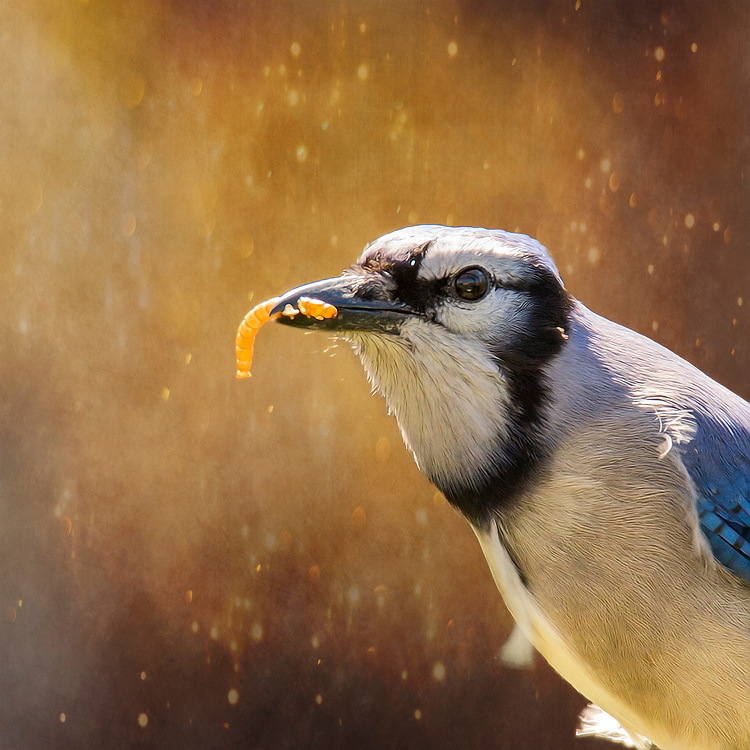 A Blue Jay Brabs A Mealworm For A Snack