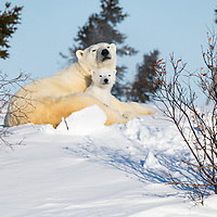 Mother Polar Bear with her three month old cub resting on a snow bank in Wapusk National Park