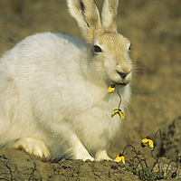 NUNAVUT, CANADA. Arctic hare (Lepus arcticus) grazes on arctic poppies (Papaver radicatum) near Eureka, on Ellesmere Island.