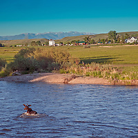A moose fords the Jefferson River near Willow Creek, Montana.