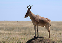 A male Coke's Hartebeest, Alcelaphus buselaphus cokii, stands on a mound in Serengeti National Park, Tanzania