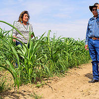 082515       Cable Hoover<br /> <br /> Bertha Etsitty, left, Allen Etsitty and their granddaughter Haley look over the stunted corn crops on their family farm near Shiprock Tuesday.