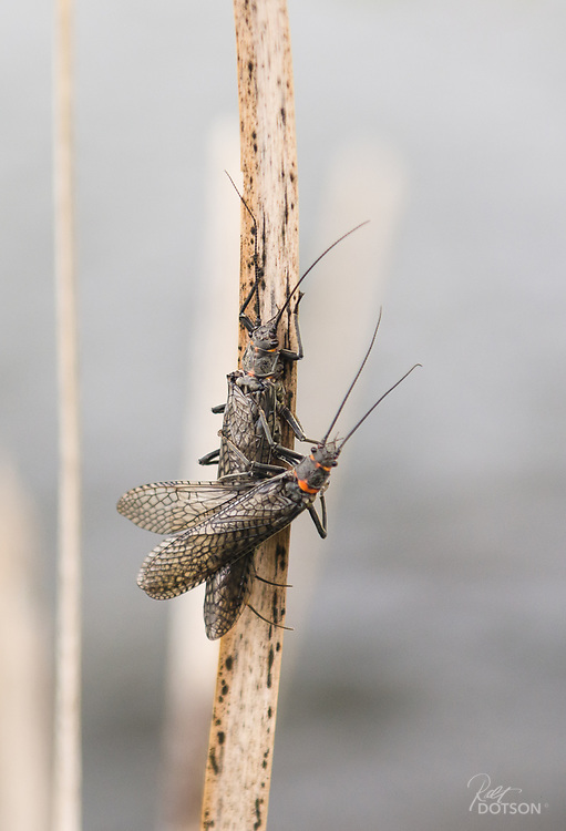The Big Bugs start their crawl to the banks from mid May to the end of May and then spend the next 2-4 weeks working their hatch upriver until it culminates in the Box Canyon and Coffee Pot Rapids area.