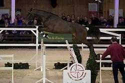 012 - O Baily vh Brouwershof <br /> VRIJSPRINGEN<br /> Hengsten keuring BWP - Koningshooikt 2017<br /> © Dirk Caremans<br /> 27/12/2016