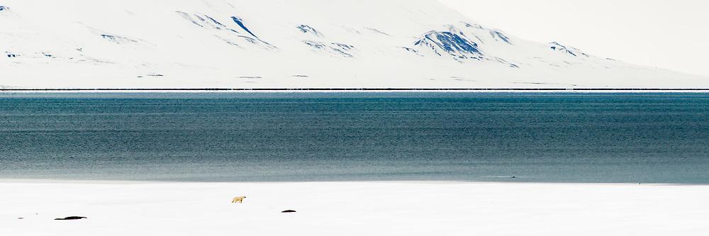 Polar bear walks along the sea ice edge in Van Mijenfjorden on Svalbard.