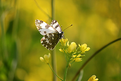 April 3, 2017 - Anantnag, Jammu And Kashmir, India - A butterfly sucks nectar out of a flower in a mustard field in full bloom on the outskirts of Anantnag district some 60 kilometers from summer capital of Indian occupied Kashmir.According to the Directorate of Agriculture of the state government of Jammu and Kashmir, the Kashmir valley comprising six districts has an estimated area of 65 thousand hectares of paddy land under mustard cultivation, which is about 40 per cent of the total area under paddy..Women walking through mustard fields on the outskirts of Anantnag district some 60 kilometers from summer capital of Indian occupied Kashmir.According to the Directorate of Agriculture of the state government of Jammu and Kashmir, the Kashmir valley comprising six districts has an estimated area of 65 thousand hectares of paddy land under mustard cultivation, which is about 40 per cent of the total area under paddy. (Credit Image: © Aasif Shafi/Pacific Press via ZUMA Wire)