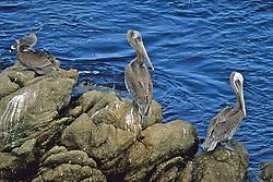 Pelican / Point Lobos