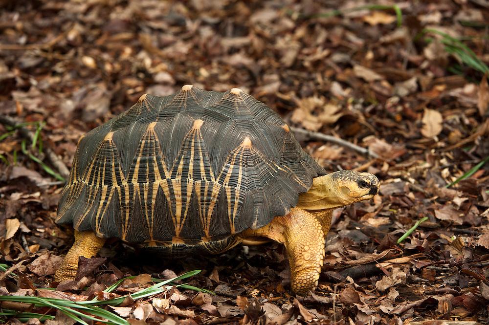 Radiated Tortoise (Astrochelys radiata)<br /> CAPTIVE<br /> HABITAT & RANGE: Native to Southern & Western Madagascar<br /> IUCN STATUS: CRITICALLY ENDANGERED
