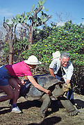 Under a prickly pear cactus tree, tourists encourage a giant Galapagos Tortoise to fully extends its legs and neck in a cleaning posture for finches to preen parasites, at Charles Darwin Research Station, Puerto Ayora, Santa Cruz Island, Galapagos Islands, Ecuador, South America. The Galápagos giant tortoise (Chelonoidis nigra, formerly called Geochelone elephantopus) is the largest living tortoise and is native to seven islands of the Galápagos archipelago. Fully grown adults can weigh over 300 kilograms (661 lb) and measure 1.5 meters (5 feet) over the curve of the shell. They are long-lived with a life expectancy of up to 100-150 years in the wild. Populations fell dramatically because of hunting and the introduction of predators and grazers by humans since the 1600s. Only ten subspecies of the original twelve exist in the wild. Since Galápagos National Park and the Charles Darwin Foundation were established, hundreds of captive-bred juveniles have been released back onto their home islands. In 1959, Ecuador declared 97% of the land area of the Galápagos Islands to be Galápagos National Park, which UNESCO registered as a World Heritage Site in 1978. Ecuador created the Galápagos Marine Reserve in 1998, which UNESCO appended in 2001. For licensing options, please inquire.