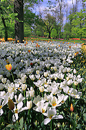 """Taken in the wonderful Park of the Castle of Pralormo in Piedmont, Italy, on a sunny afternoon of mid April. Every year at the beginning of the Spring (from the end of March to the beginning of May), the """"Messer Tulipano"""" exhibition (Mister Tulip) turns the park of the Castle into a kaleidoscope of colours, with thousands of tulip flowers blooming everywhere."""