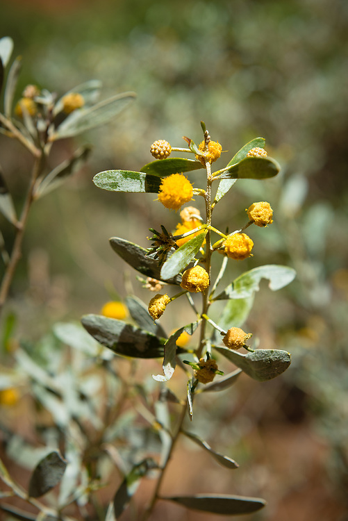 Yellow native flowers at Kings Canyon National Park