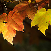 Maple leaves turn yellow, red, or orange in the fall in Massachusetts