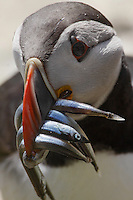 Puffin ( Fratercula arctica ) with fish Ireland Saltee Islands