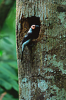 Coleto (Sarcops calvus) at nest hole at Northwest Panay Peninsula.  .Panay Island, Philippines.  May 2001.