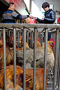 KUNMING, CHINA - FEBRUARY 10: (CHINA OUT) <br /> <br /> Chickens are seen at a market on February 10, 2015 in Kunming, Yunnan province of China. One case of H5N6 bird flu carrier was diagnosed in Yunnan. As reported, a 44-year-old man who infected with H5N6 bird flu was killed on February 6. <br /> ©Exclusivepix Media