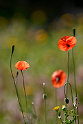Red field poppies in the beautiful fields of Ibiza, Spain
