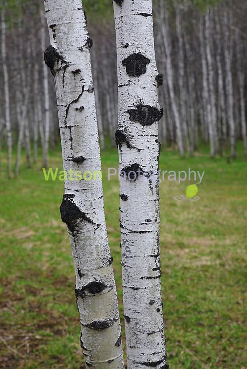 Spring Aspen Woodlands