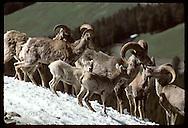 An unusual summer meeting of Rocky Mountain bighorn rams & lambs on Mt Washburn in Yellowstone NP Wyoming