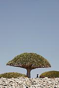 Dragon Blood Trees, Dixsam, Socotra, Yemen