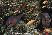 masked morays, Gymnothorax breedeni, & peach anthiases, Pseudanthias dispar,, at Eel Pit dive site, Christmas ( Kiritimati ) Island, Line Islands, Republic of Kiribati ( Central Pacific )