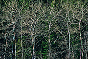 Aspen (Populus tremuloides) trees in spring, Riding Mountain National Park, Manitoba, Canada