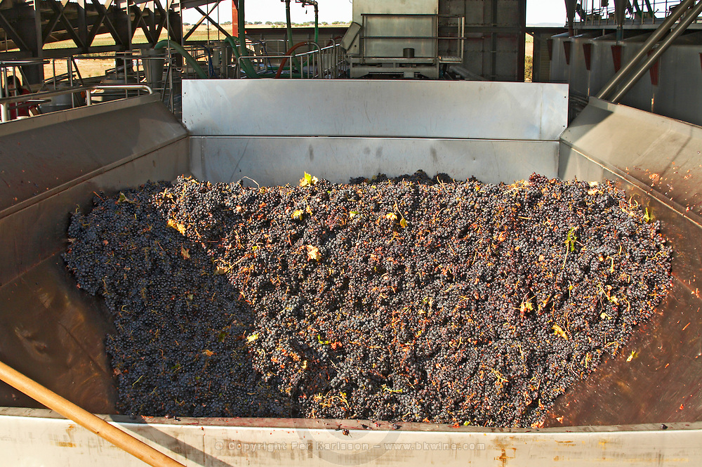 grapes in the receiving hopper quinta de sao jorge alentejo portugal