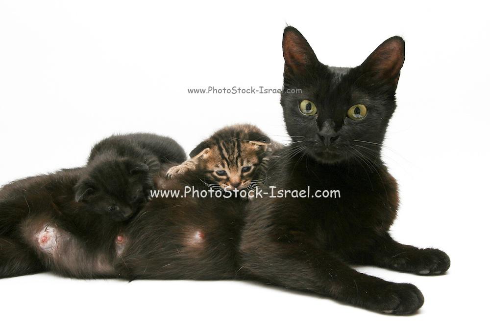 Mother cat feeding 3 of her kittens on white background