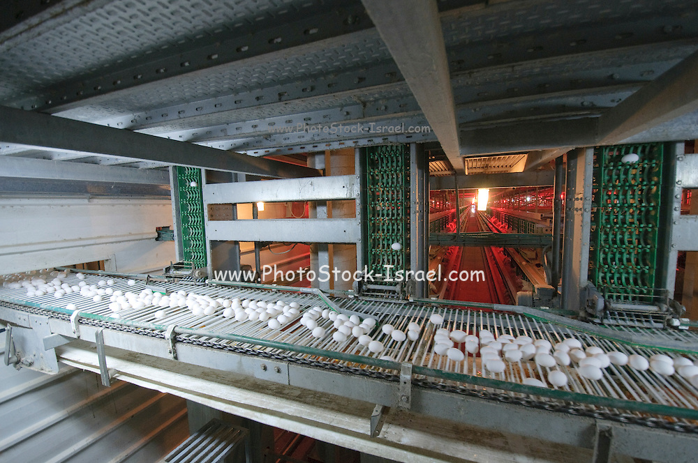 Battery Farming conveyor belt collects the eggs