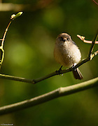 Bushtit looks straight ahead.