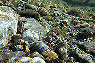 Chinook Salmon (Juvenile)<br /> <br /> Todd Pearsons/Engbretson Underwater Photography