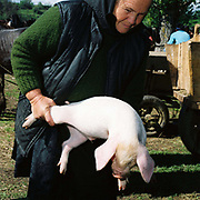 A peasant farmer picks up a piglet at Bogdan Voda market, Maramures, Romania.